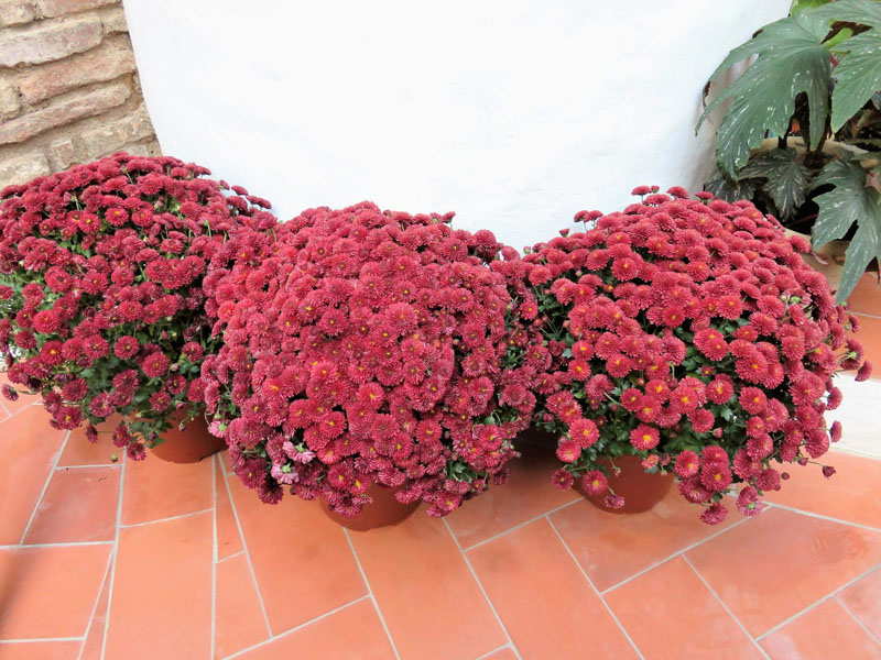 Crisantemos en octubre en el Patio Juan Rufo