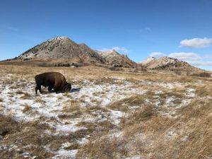 Bisonte americano en el Bear Butte State Park