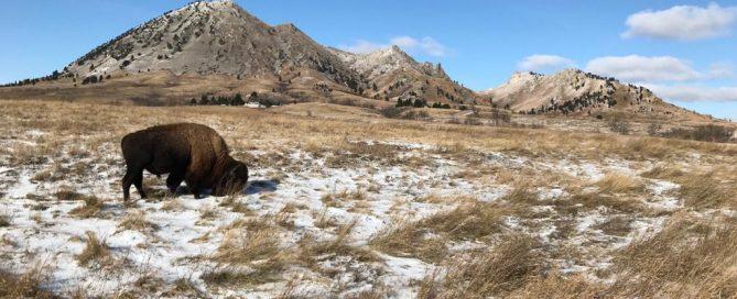 Bisonte en Bear Butte State Park