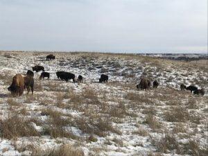 Bisontes en el Bear Butte State Park